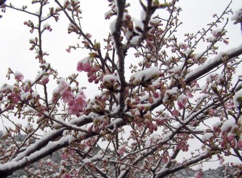河津桜に雪が・・・_f0043750_1884721.jpg