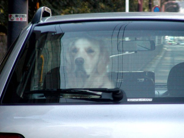 Dog in the Car_c0057390_2244256.jpg