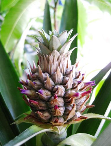パイナップルの花芽
