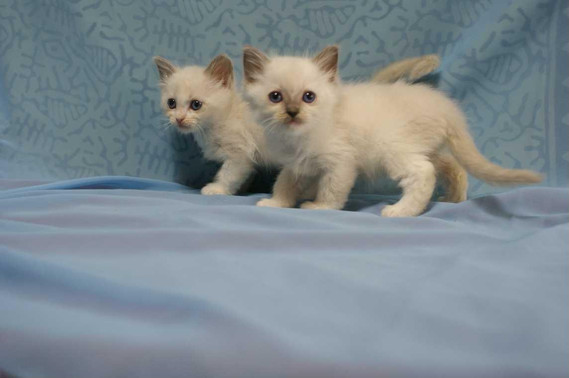 ラグドールの子猫ちゃん・1月生まれ_e0033609_1752218.jpg