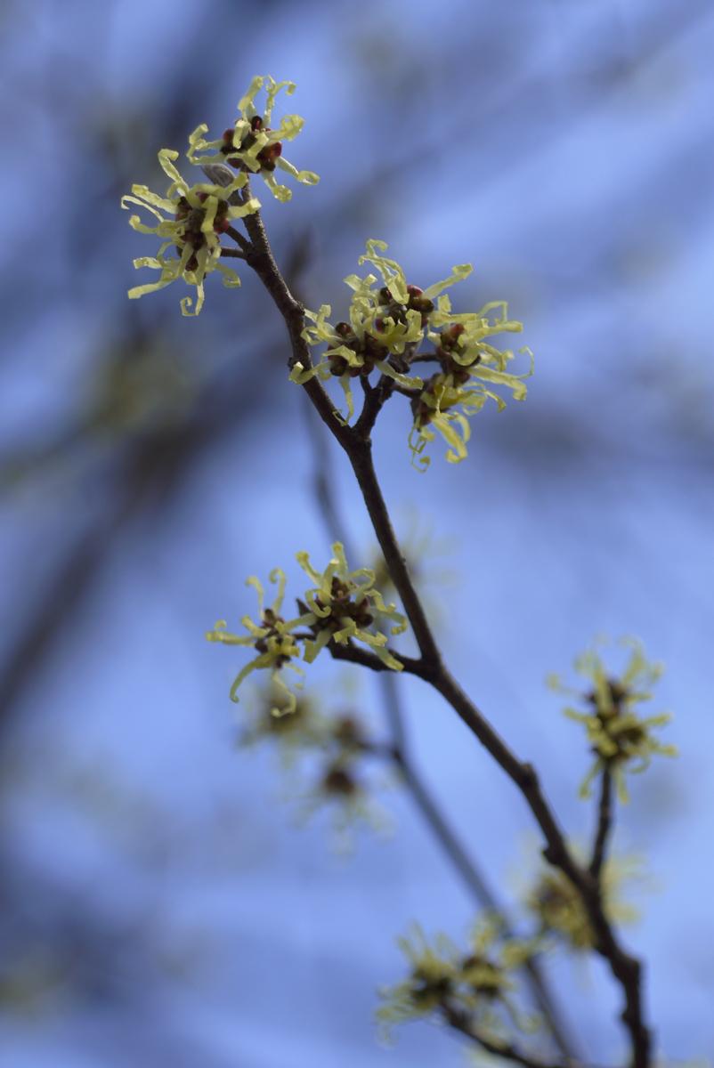 まんさくの花は_d0123171_11351871.jpg