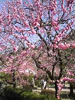 太宰府の梅がきれいでしたよ~!_f0140145_18181118.jpg