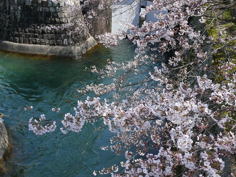 大津 琵琶湖疎水の桜_c0196076_21345740.jpg