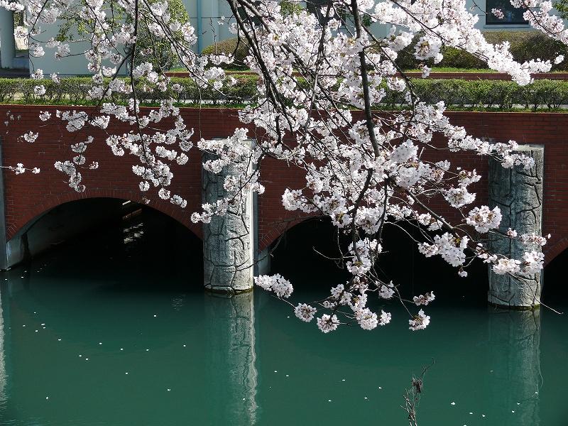 大津 琵琶湖疎水の桜_c0196076_21354550.jpg