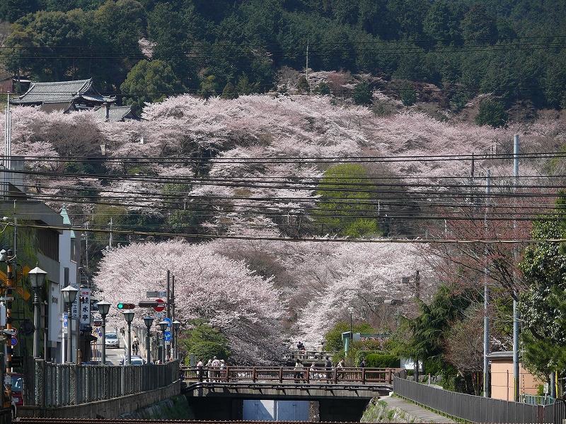 大津 琵琶湖疎水の桜_c0196076_21361668.jpg