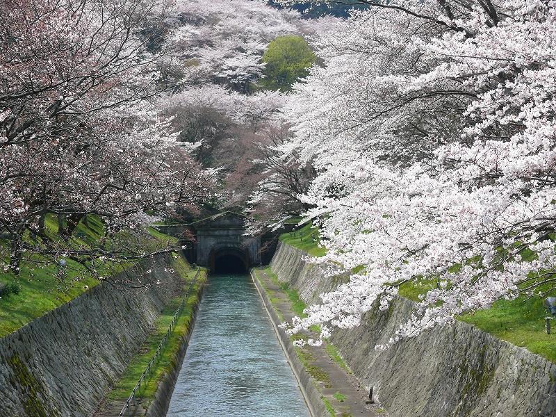 大津 琵琶湖疎水の桜_c0196076_213650100.jpg