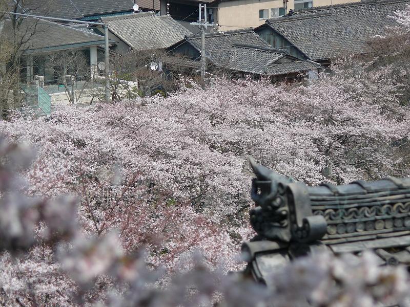 大津 琵琶湖疎水の桜_c0196076_21373366.jpg