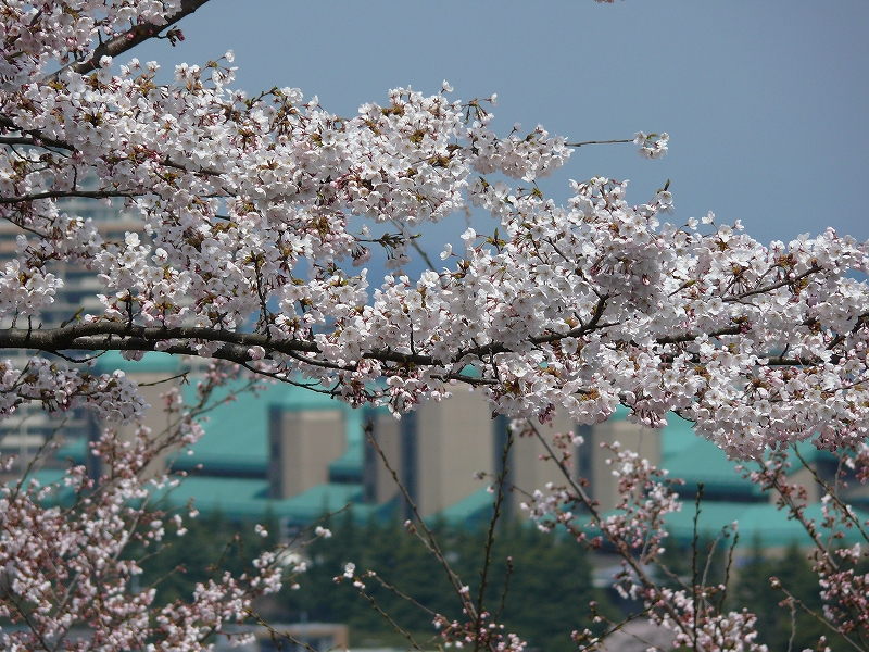 大津 琵琶湖疎水の桜_c0196076_21384784.jpg