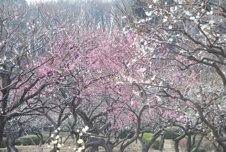 薬師池公園梅林 2月15日_f0101201_22464486.jpg