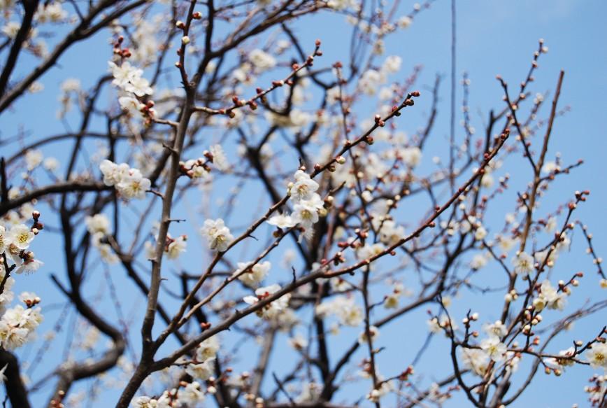 薬師池公園梅林 2月15日_f0101201_2247215.jpg