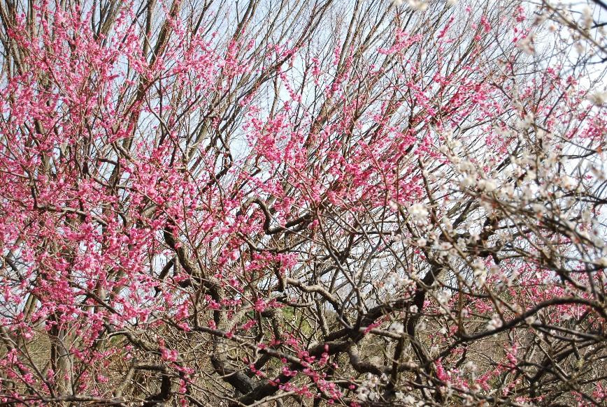 薬師池公園梅林 2月15日_f0101201_22474562.jpg