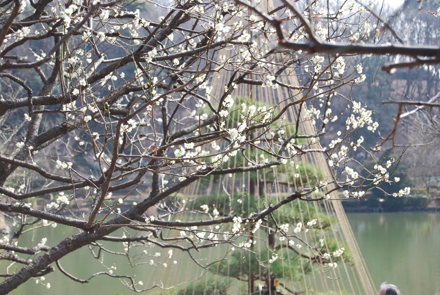薬師池公園梅林 2月15日_f0101201_22481335.jpg