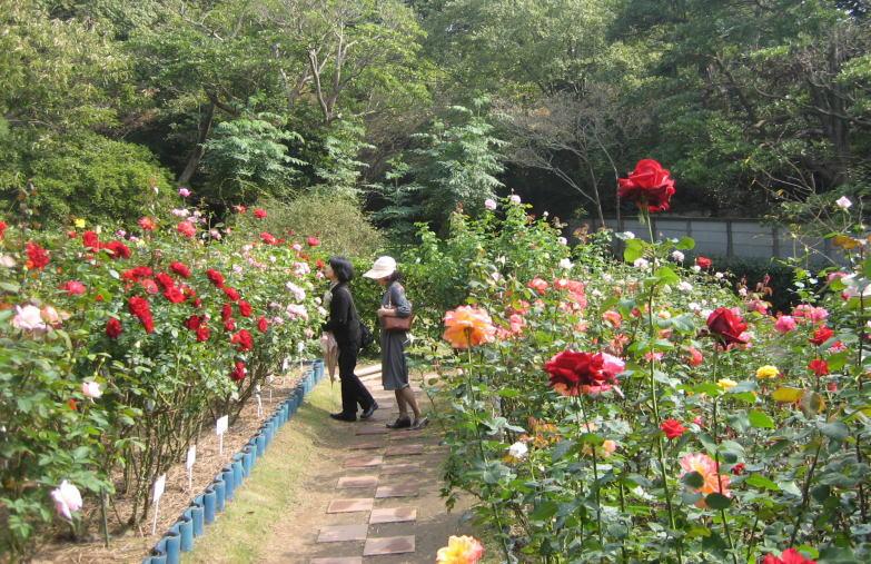 薔薇の画像 p1_18