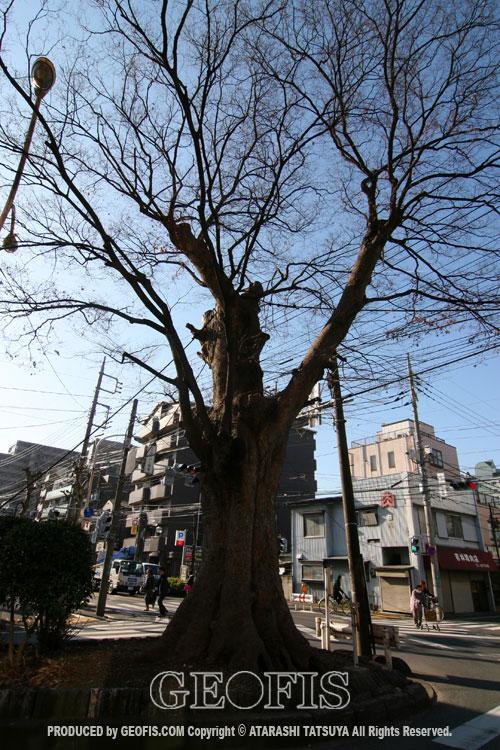 与野駅前の大ケヤキ(2)_b0007284_17251023.jpg