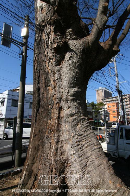 与野駅前の大ケヤキ(2)_b0007284_17261620.jpg