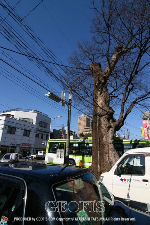 与野駅前の大ケヤキ(2)_b0007284_1726443.jpg