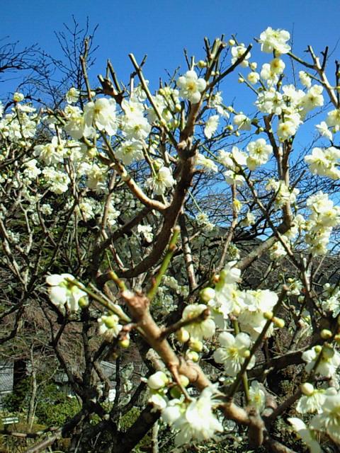 梅の花が咲いてたよ!in箱根_e0173350_2095456.jpg