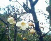 梅の開花_e0167795_14171682.jpg
