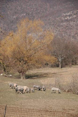 チンタ豚農家を訪れました~グルッポ・ディ・アクイスト_f0106597_1341588.jpg