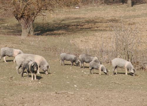 チンタ豚農家を訪れました~グルッポ・ディ・アクイスト_f0106597_1351633.jpg