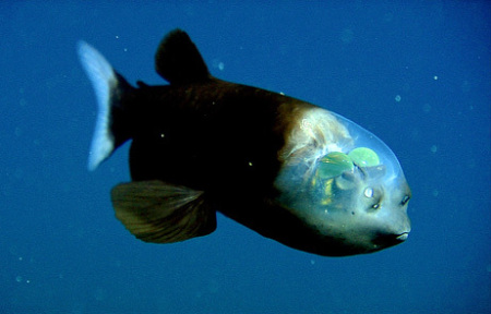 深海魚デメニギス_b0052564_14364092.jpg