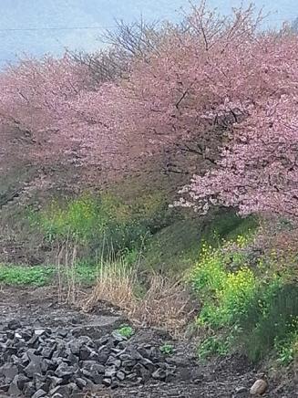 河津桜バスツアー♪_b0105897_21321465.jpg