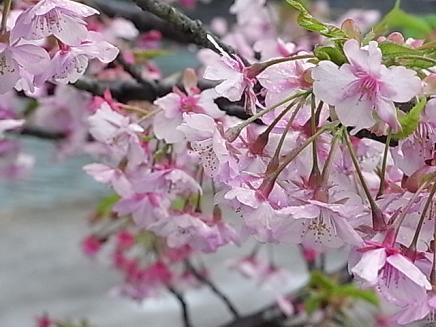 河津桜バスツアー♪_b0105897_21343599.jpg