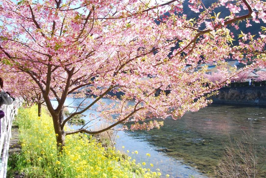 河津は春!!春!!_f0101201_22204583.jpg