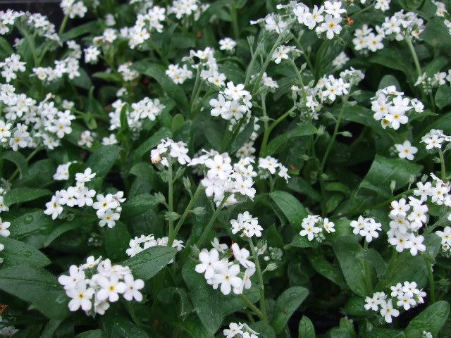 オークリーフ(白い忘れな草の花)_f0049672_14133887.jpg