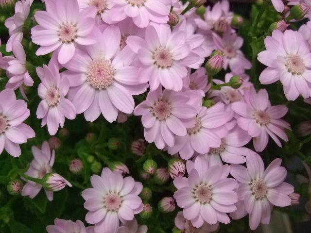 オークリーフ(白い忘れな草の花)_f0049672_1439487.jpg