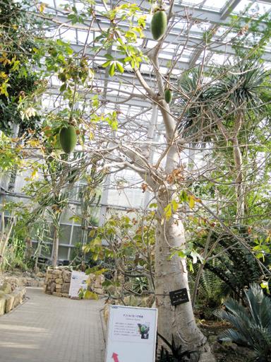 実がなってるバオバブの木