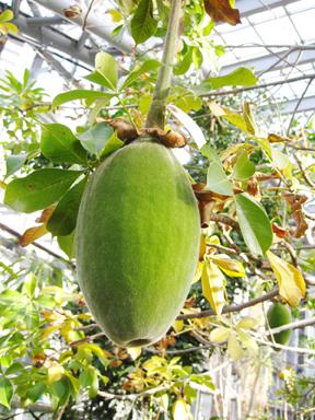 バオバブの果実