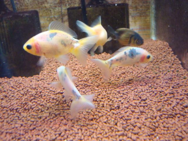 熱帯魚・水草・金魚_f0189122_16514859.jpg