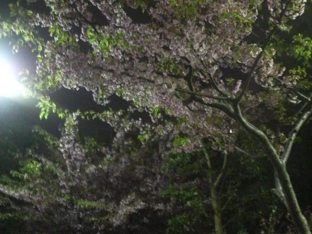 もう、桜が咲いてるっ_f0132234_147736.jpg