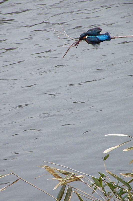 コンデジでカワセミの飛び込みを_b0024798_547126.jpg