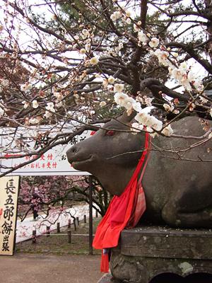 梅さく嵐電 天神さんの花番牛 只今七分咲き_c0069903_5391287.jpg