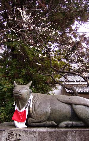 梅さく嵐電 天神さんの花番牛 只今七分咲き_c0069903_5394666.jpg