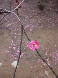 梅さく嵐電 天神さんの花番牛 只今七分咲き_c0069903_5404296.jpg