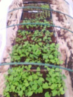 春野菜の苗たち_d0026905_11382541.jpg