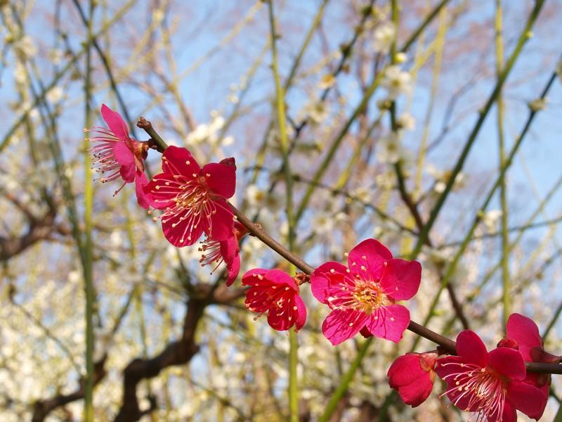 大阪城公園 梅林_c0187587_2039545.jpg