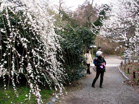 植物園ー梅とメジロ_e0048413_21291814.jpg