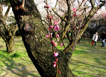植物園ー梅とメジロ_e0048413_21294048.jpg