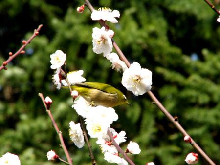 植物園ー梅とメジロ_e0048413_21302213.jpg
