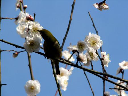 植物園ー梅とメジロ_e0048413_21303458.jpg