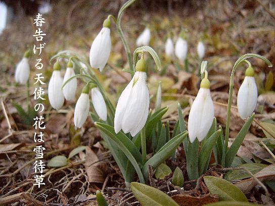 雪待草_e0099713_23363723.jpg