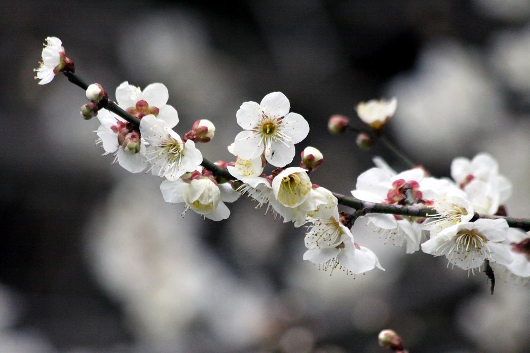 白梅とジョウピタキ          北本自然観察公園_a0107574_19501583.jpg