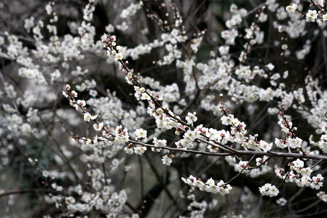 白梅とジョウピタキ          北本自然観察公園_a0107574_19502429.jpg