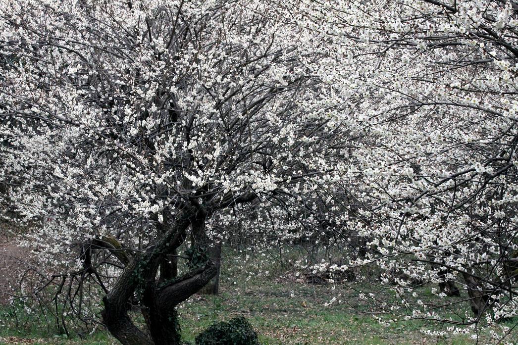 白梅とジョウピタキ          北本自然観察公園_a0107574_19503230.jpg