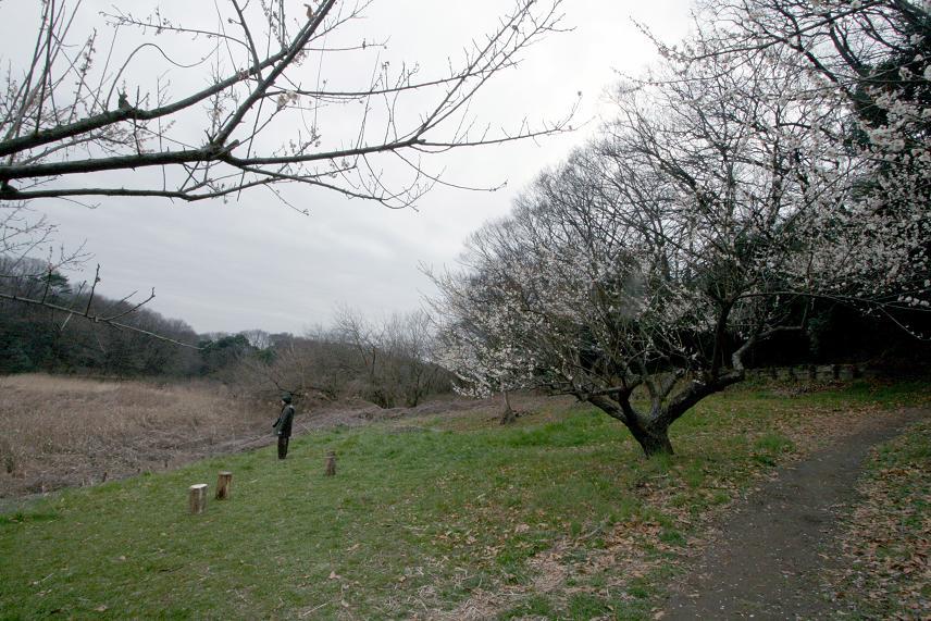 白梅とジョウピタキ          北本自然観察公園_a0107574_19504840.jpg