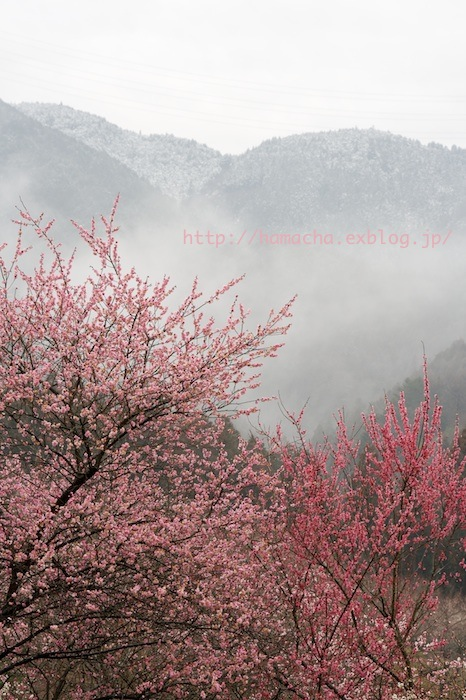 Japanese Apricot Garden_c0158775_20123722.jpg